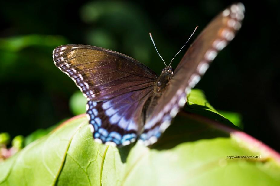 Sunbathingbutterfly