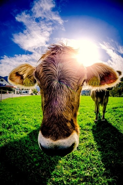 Swiss Cow meets Fisheye