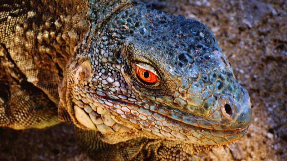 Extreme Close Up  of Iguana2