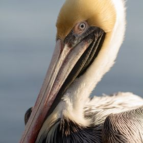 Pelican up close & personal