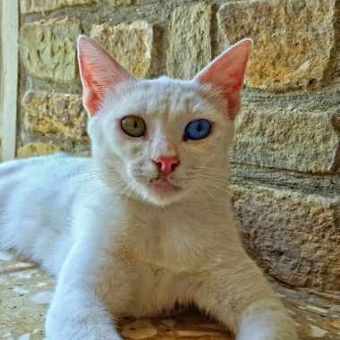 I took this photo this year in my mother's house, at Gonyeli, Cyprus. This cat comes to the house for food. The main feature of this cat is its eyes. It has one green and one blue eyes.