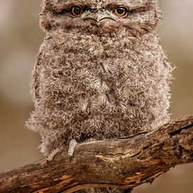 Baby Tawny Frogmouth sitting out on a limb next to it's nest the day before it fledged, in Adelaide, South Australia