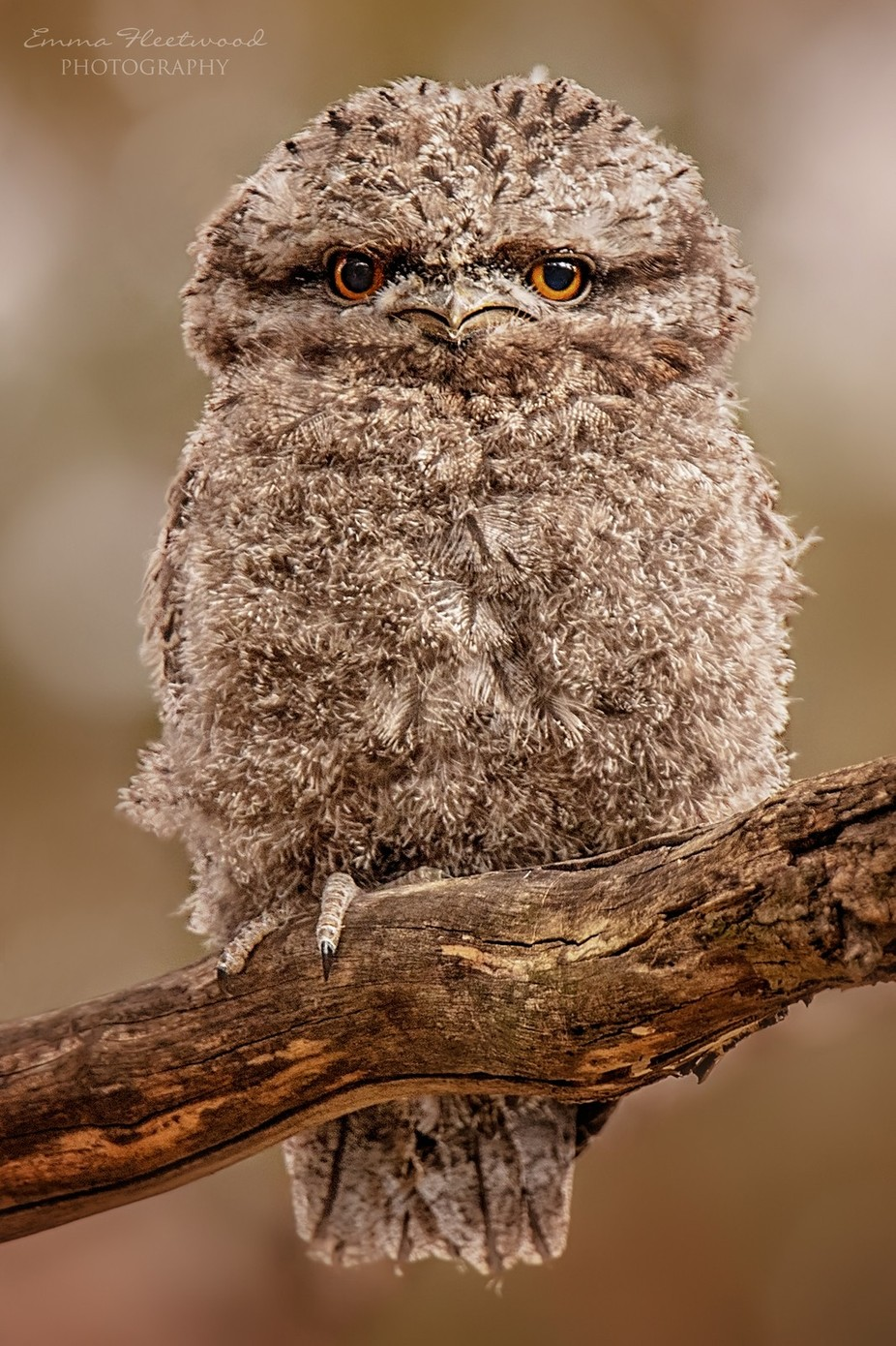 Tawny Frogmouth Fledgling by emmafleetwood - Beautiful Owls Photo Contest