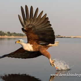 This dramatic photograph taken of the African Fish Eagle taking a Tiger Fish on The Chobe River in Botswana