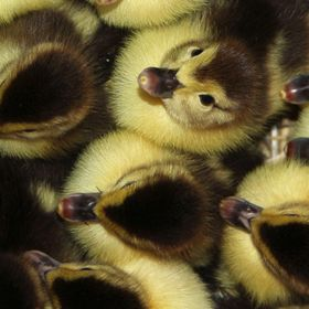 These ducklings were gathering around momma duck but one looked up at me from inside the duck house. Just a warm and fuzzy picture. :)