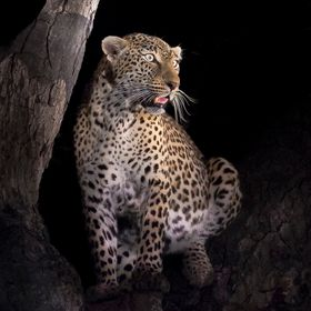 This amazing female leopard ensuring the surrounding bush id free of predators before coming down from the safe haven of the tree. Image taken in...