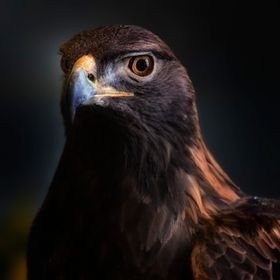 A Golden Eagle Headshot - Taken in Minnesota near Canada Border