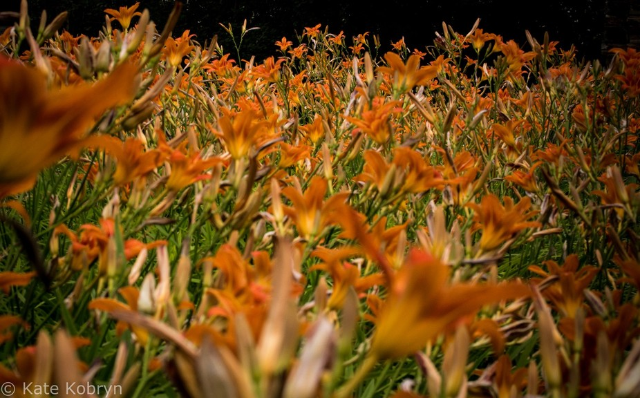 Field of orange lilies