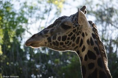 Giraffe and Bokeh