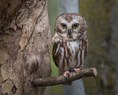 Saw Whet Owl-413-2