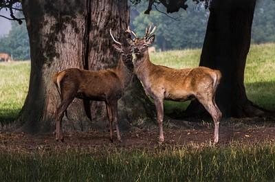 Deer Bucks at Hornby