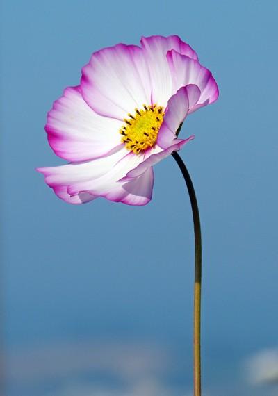 Cosmos flower 1