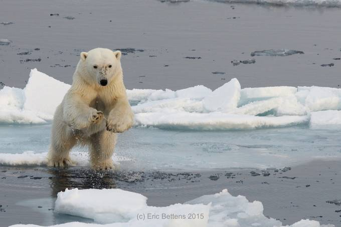 Jumping Polar Bear by ericbettens - Bears Photo Contest