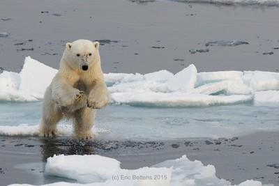 Jumping Polar Bear