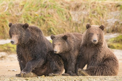 Brown bear sow and cubs - family portrait