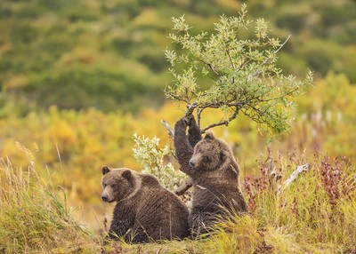 Brown bear cubs playing with willow tree