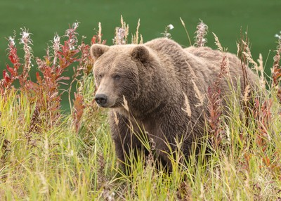Brown bear in autumn weed