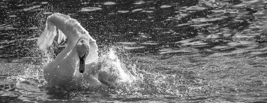 A swan enjoying a late summers splash