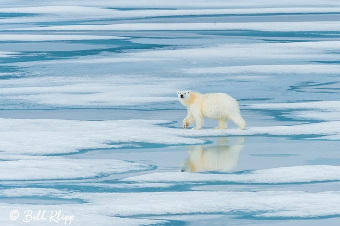 Polar Bear Reflection by billklipp - Bears Photo Contest