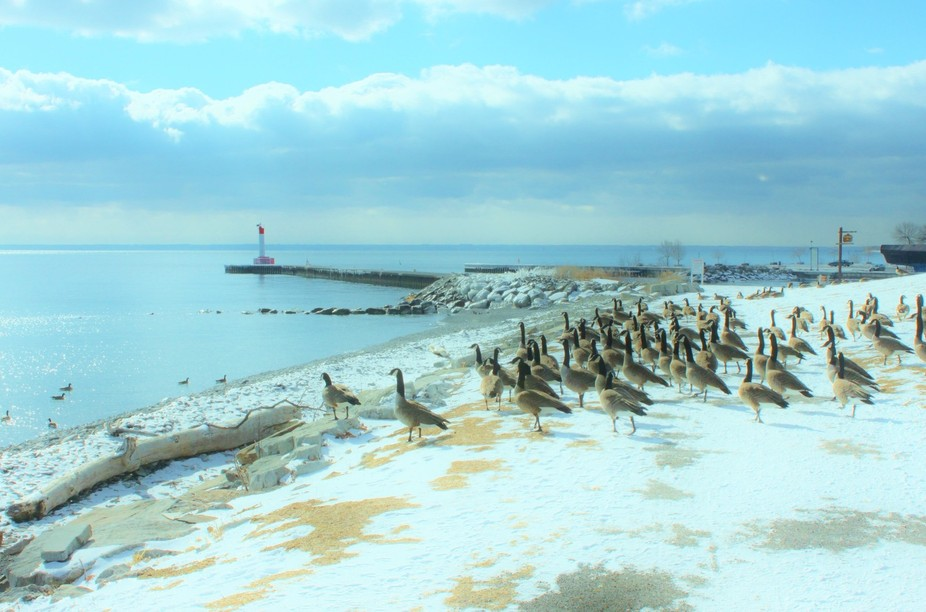 It was very cold in January 2009...Hundreds of Geese were surrounding this landscape and taking i...