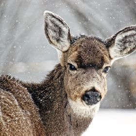 Young mule deer in winter.