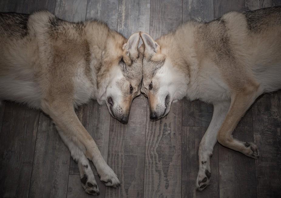 My two wolfdogs often sleeping head by head