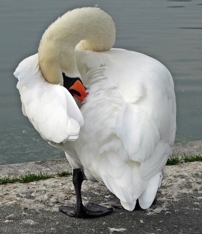 Preening the feathers