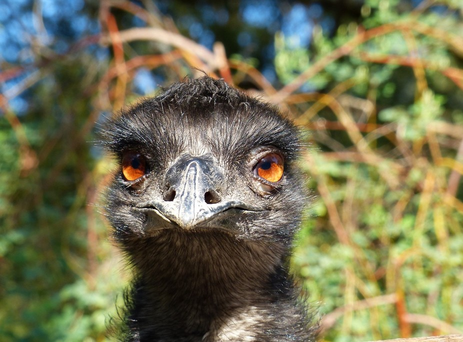 This Australian Emu is a large bird and of unpredictable temperament. I was taking this risk of g...