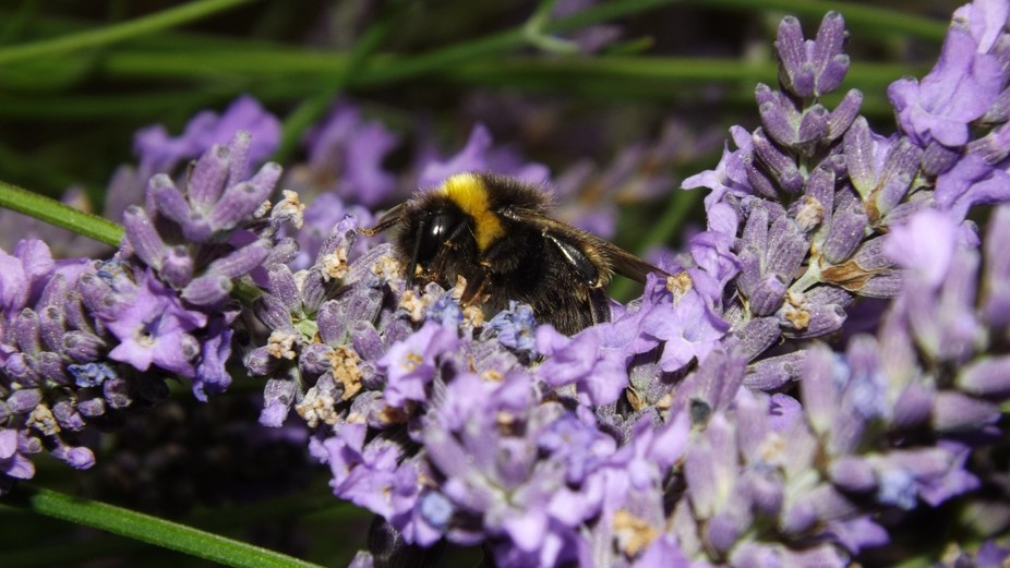 Putting out the rubbish I stood and watched as the wasp colleted nectar from Lavender