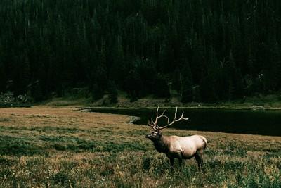 Dark Meadow Bull Elk