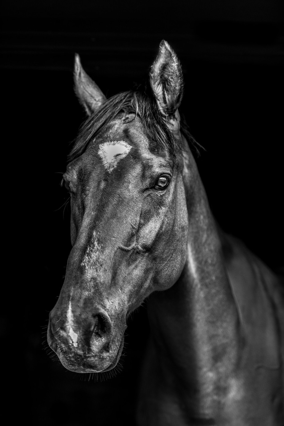 Portrait of an OTTB by FotoCavallo - Animals In Black And White Photo Contest