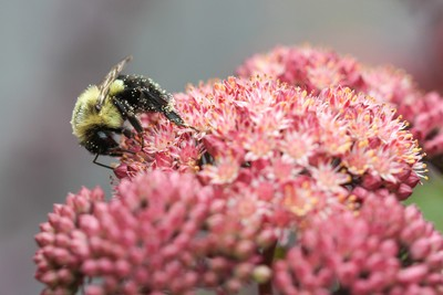 Busy Bee on Pink