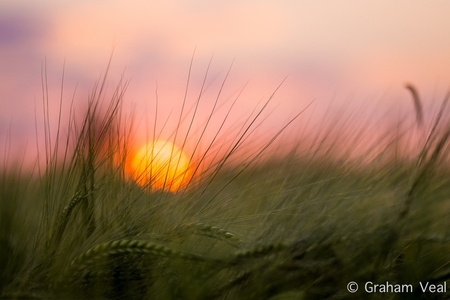 The sunset through some wheat in a field. Kent, England, UK