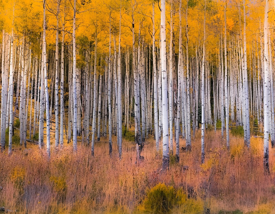 Colorado Aspen Line. Spectacular color changes and light changes.