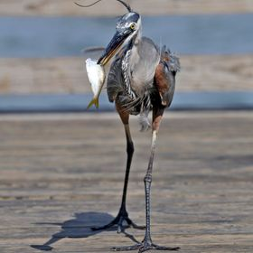 A blue heron grabbed a bait fish out of a bucket then proceeded to saunter away with his prize.