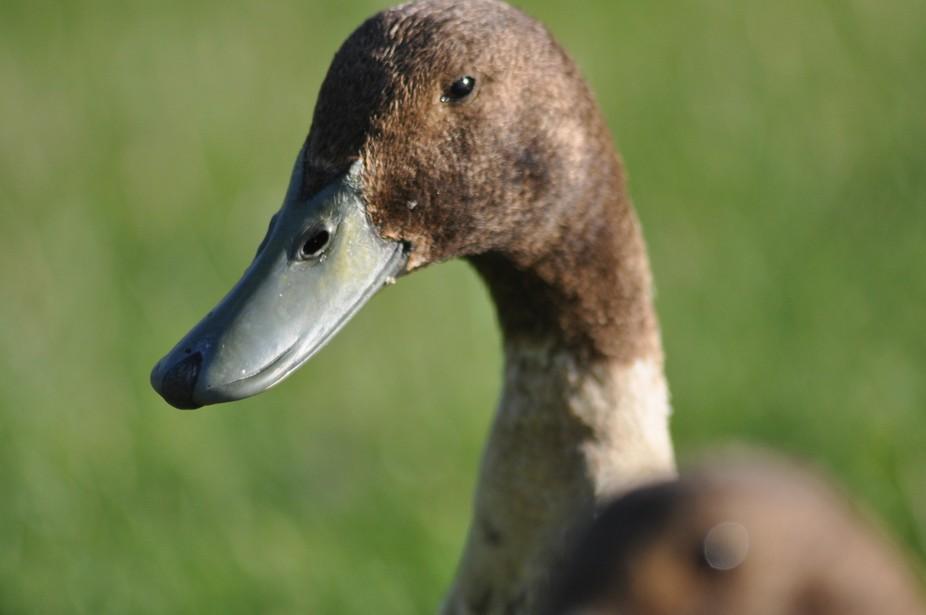 Caldbeck Duck