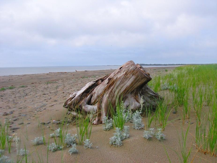Point Sapin NB.. Stump on the beach