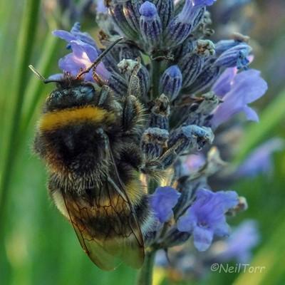 Bee Lavender