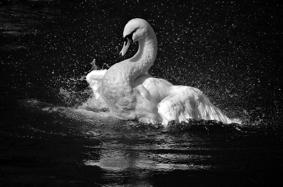 I 'am' a swan!