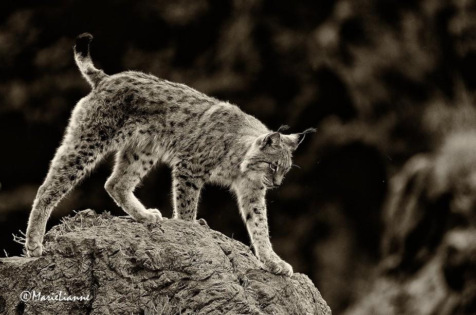 Boreal Lynx from Cabarceno, Cantabria North Spain