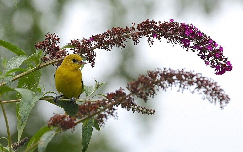 """This juvenile female orchard oriole perched """"pretty as a picture"""" on a butterfl..."""