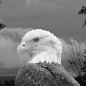 Eagle watches the storm in the distance