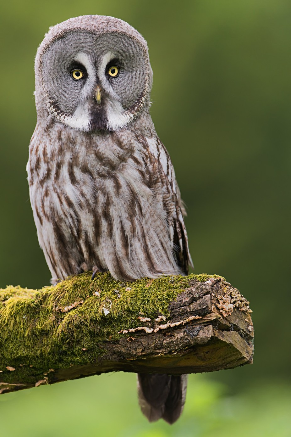 Great grey owl by iriswaanders - Only Owls Photo Contest