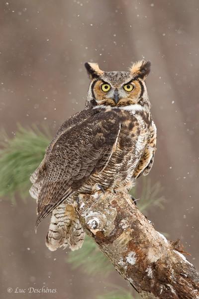 Grand duc d'Amérique - Great Horned Owl