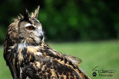 Great Horned Owl II