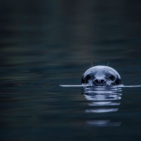 "This is a norwegian seal-type type of animal called ""Kobbe"" in norwegian."