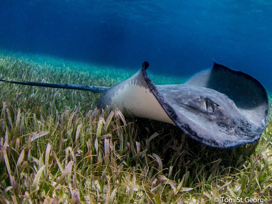 Stingray on the move in the shallows of the clear blue waters of Belize.
