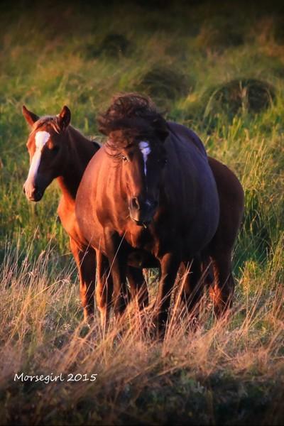 MG 2015 Wild horse charging