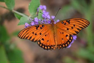 Worn Gulf Fritillary Butterfly on Butterfly Bush