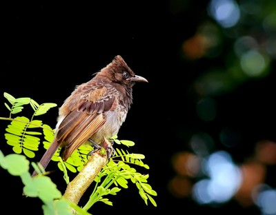 Red - Vented Bulbul